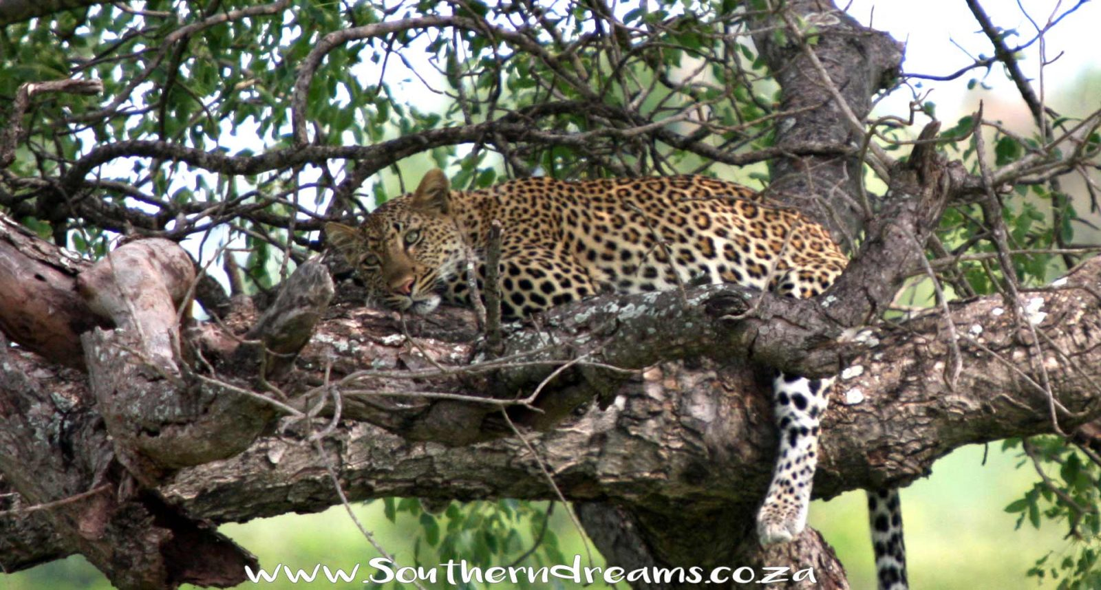 The Lesholoago Leopard