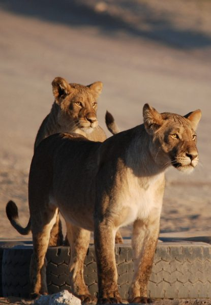 Lionesses waiting for the day to start