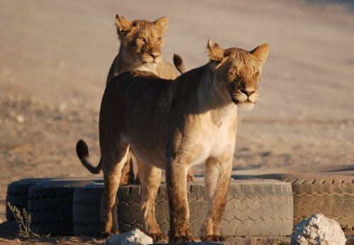 Playful Kgalagadi Lions