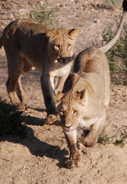 Wait for me mommy - playful lion cub approaching an adult lioness to play