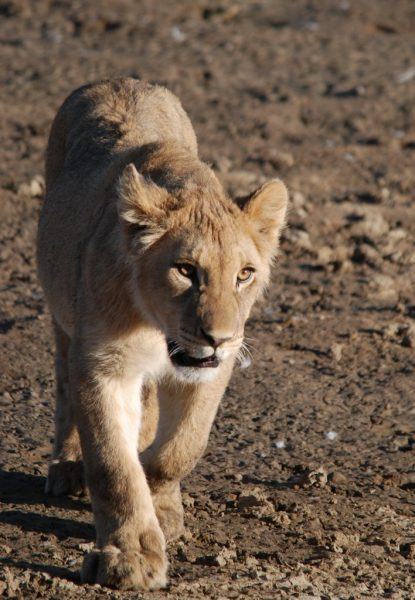 On the play 1 - Playful Lion cub