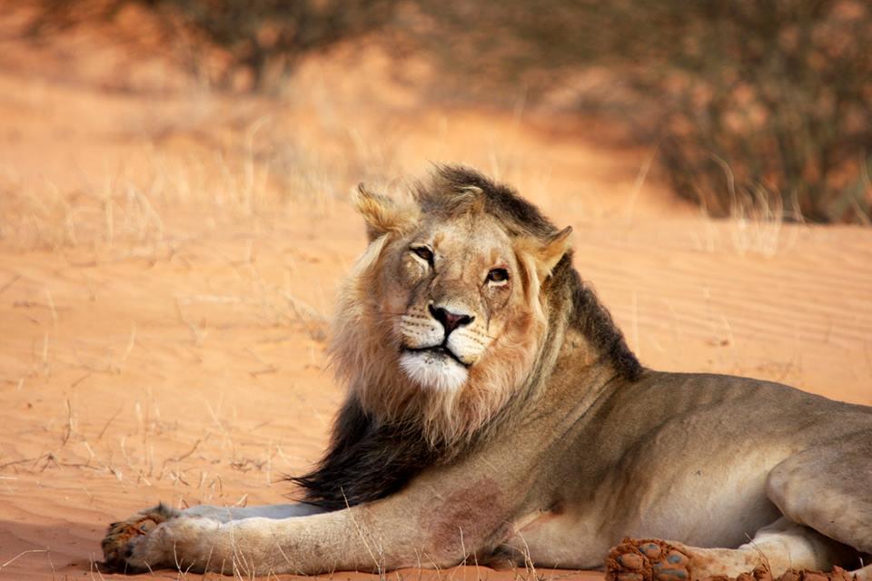 The Lesholoago Lion