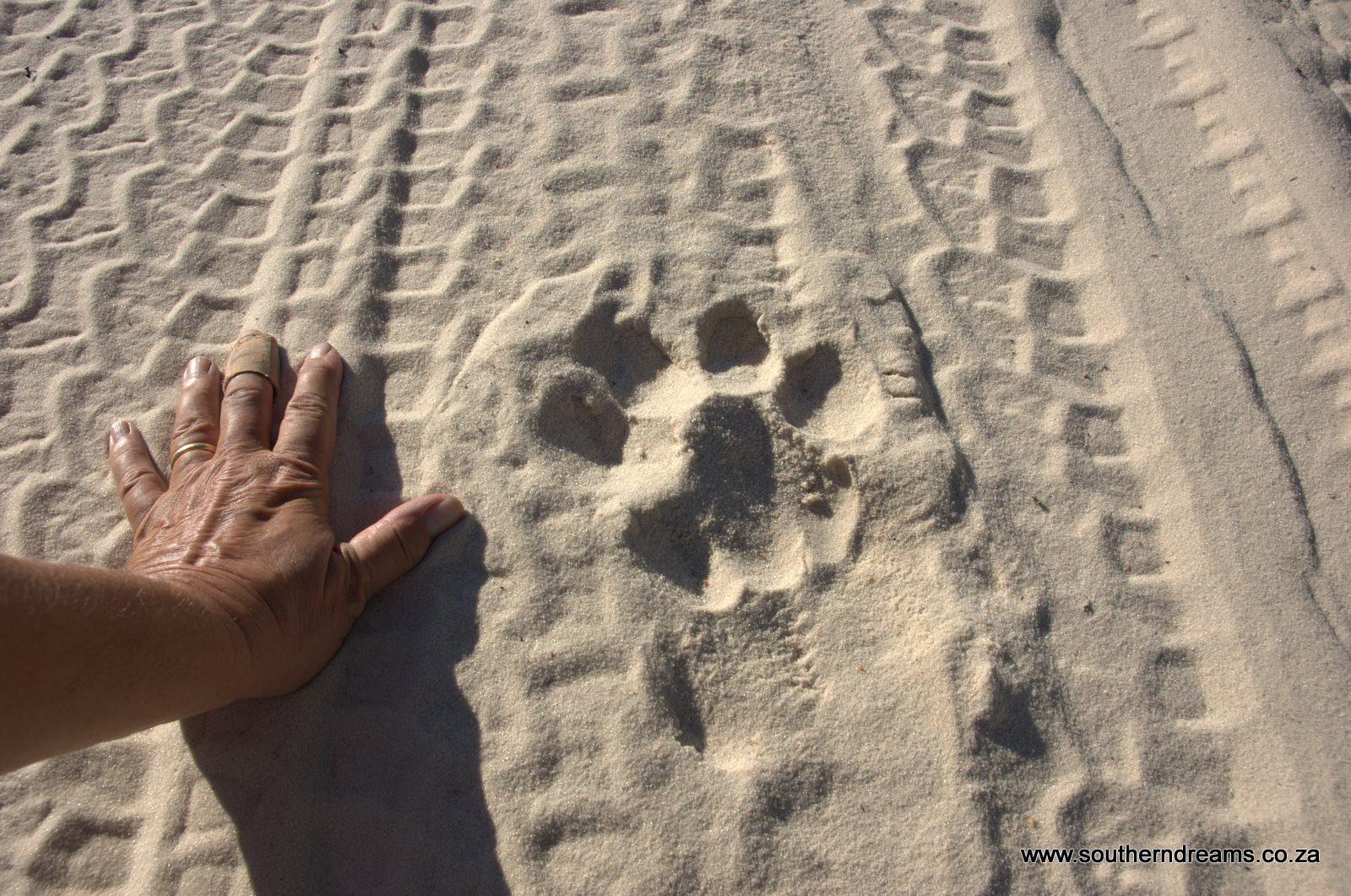 Shadow Part I – The Bosobogolo Lion