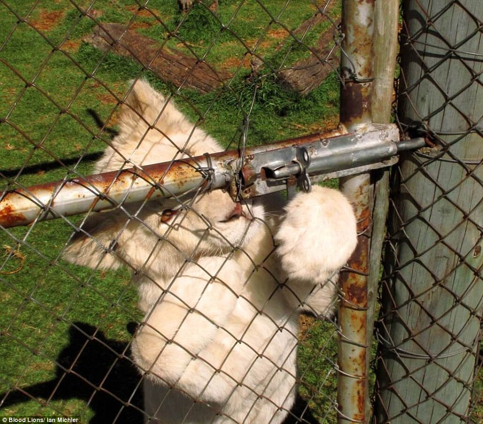 Desperate Captive Lion Cub