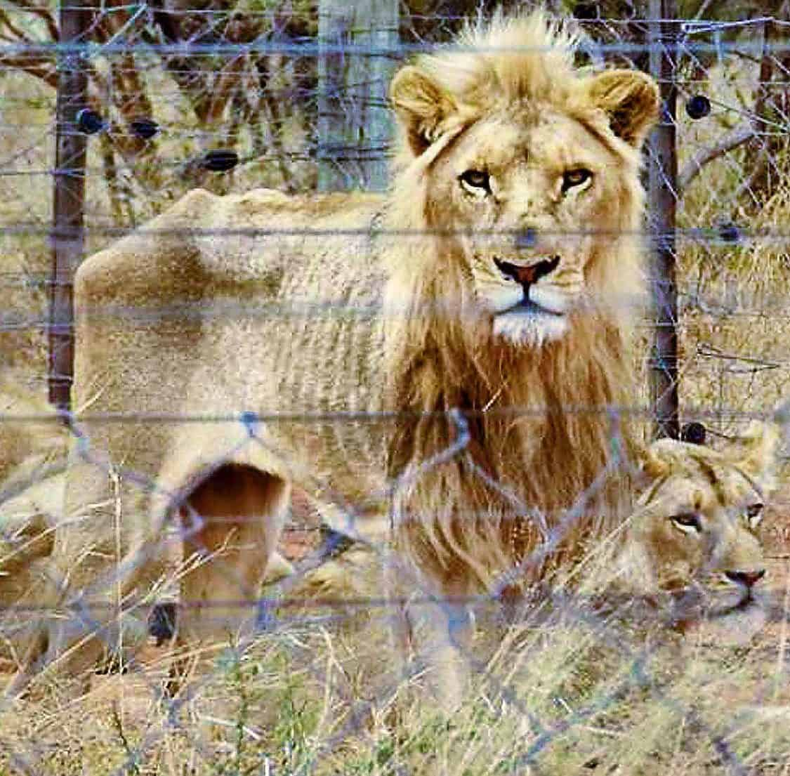 Lions bred for canned hunts are starving to death
