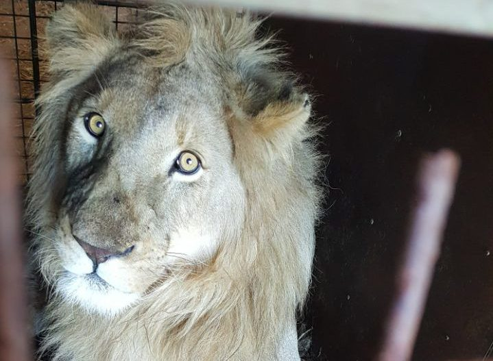 Jabula the Lion who was killed at a Lion abattoir for his bones