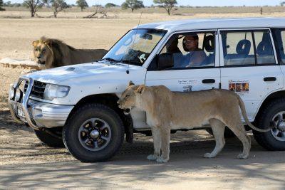 Bee Lingg and Fred Diehl watching Kalahari Lions