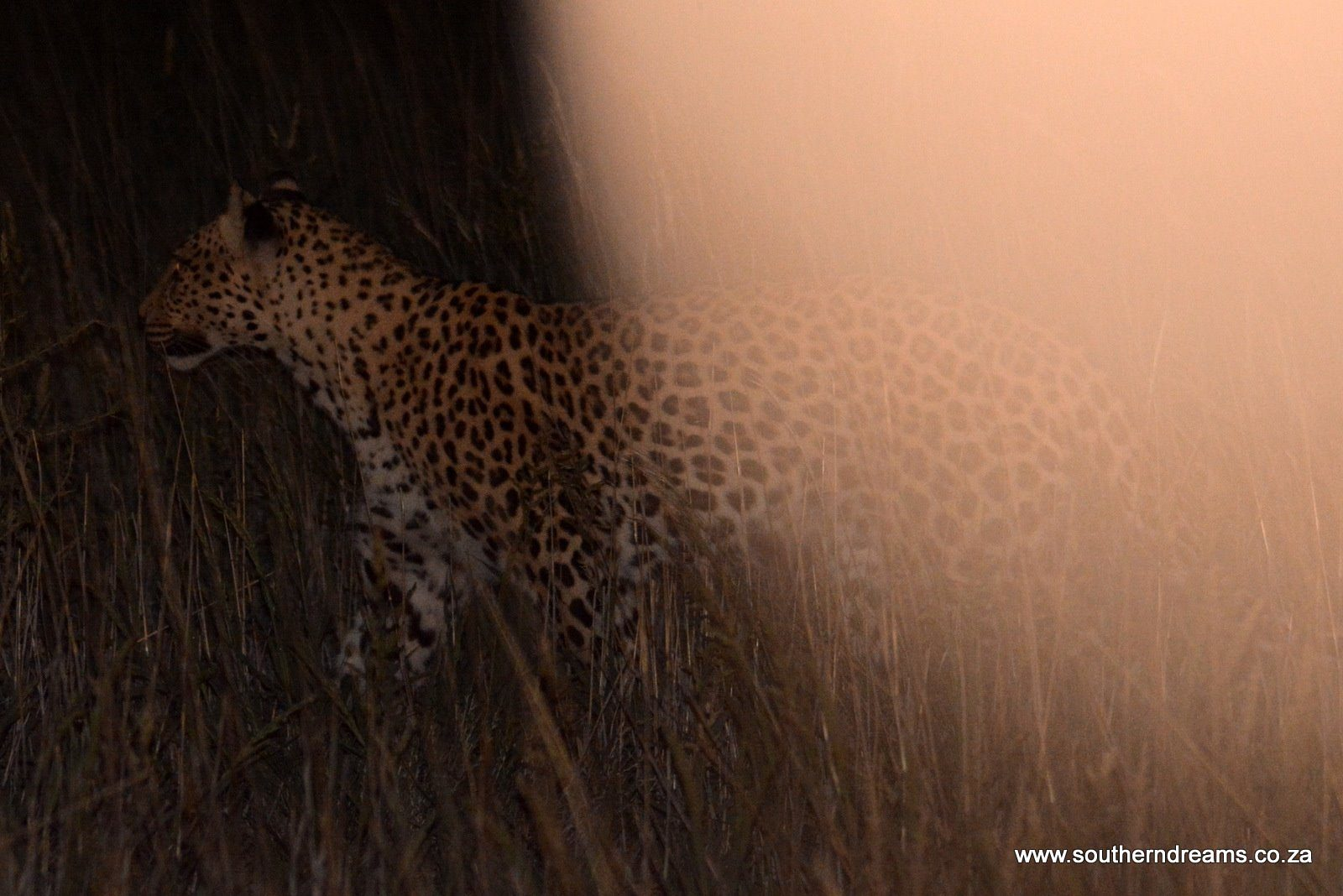 Shadow Part II – The Lesholoago Leopard  – Kgalagadi Trip February 2018