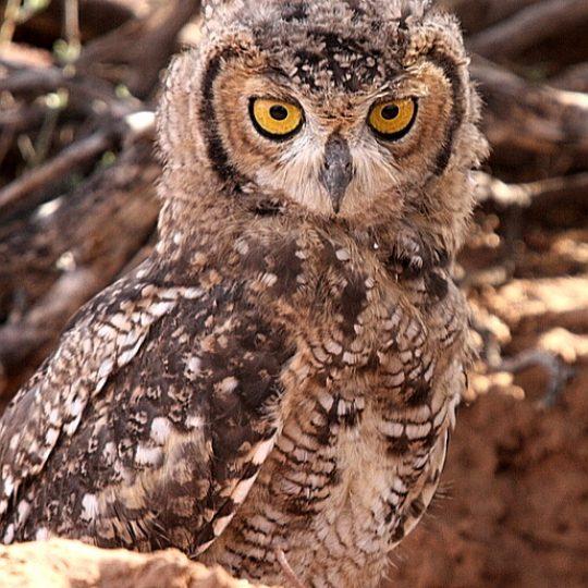 Owl in a hole Kgalagadi