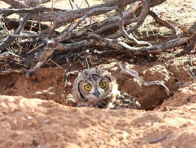 Kgalagadi Spotted Eagle Owl - Owl in a Hole Kgalagadi