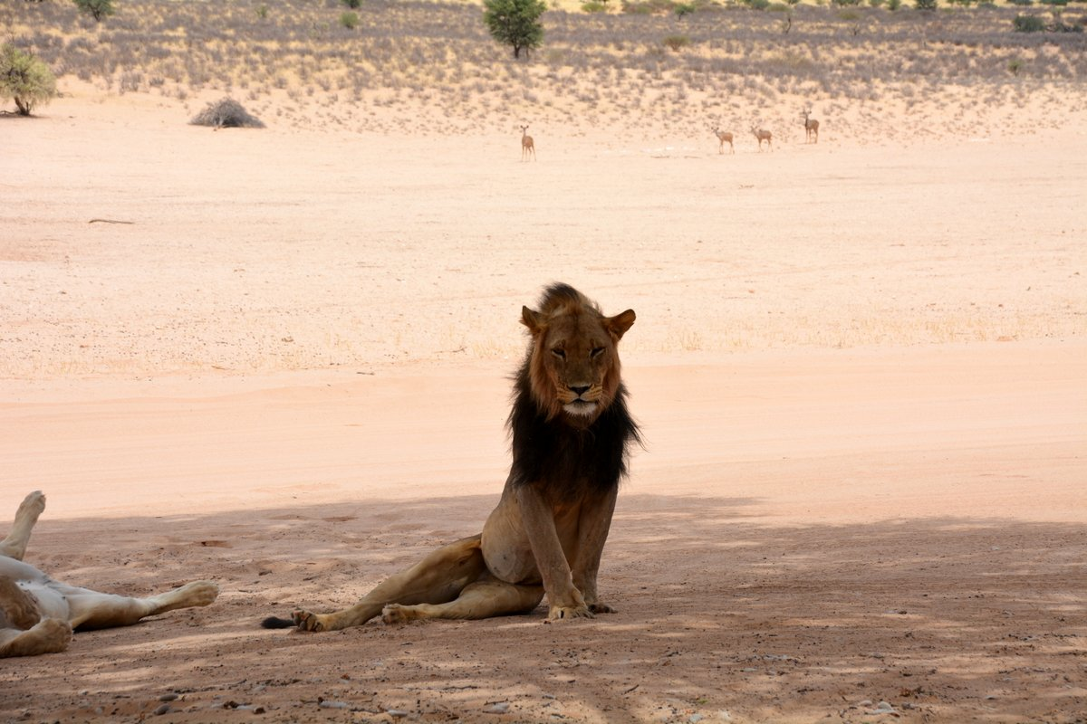 Mighty Black-maned Lion Male