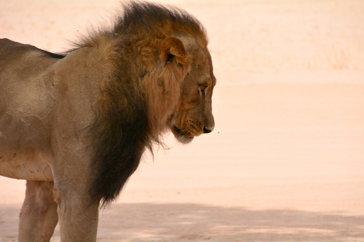 Kgalagadi Lion - THAT fly