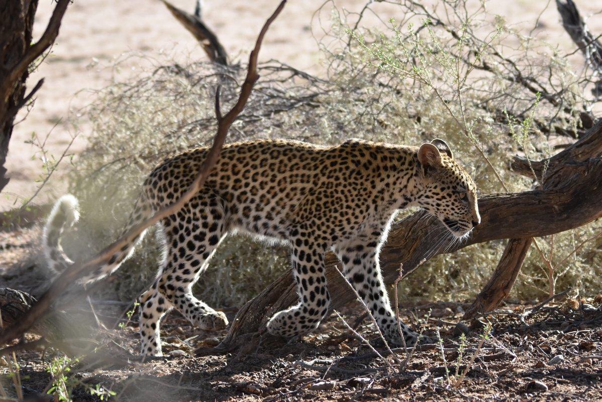 Kgalagadi Leopard Madi – Drama at the waterhole – Part 1