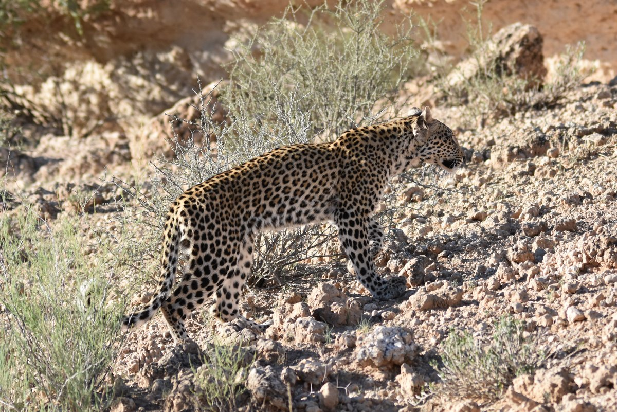 Kgalagadi Leopard Madi - Drama at the waterhole - Part 1