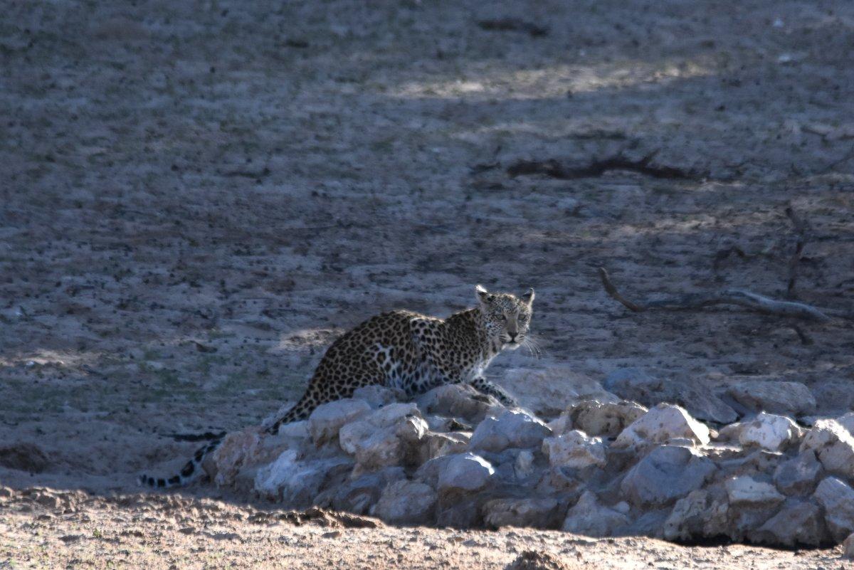 Kgalagadi Leopard Madi