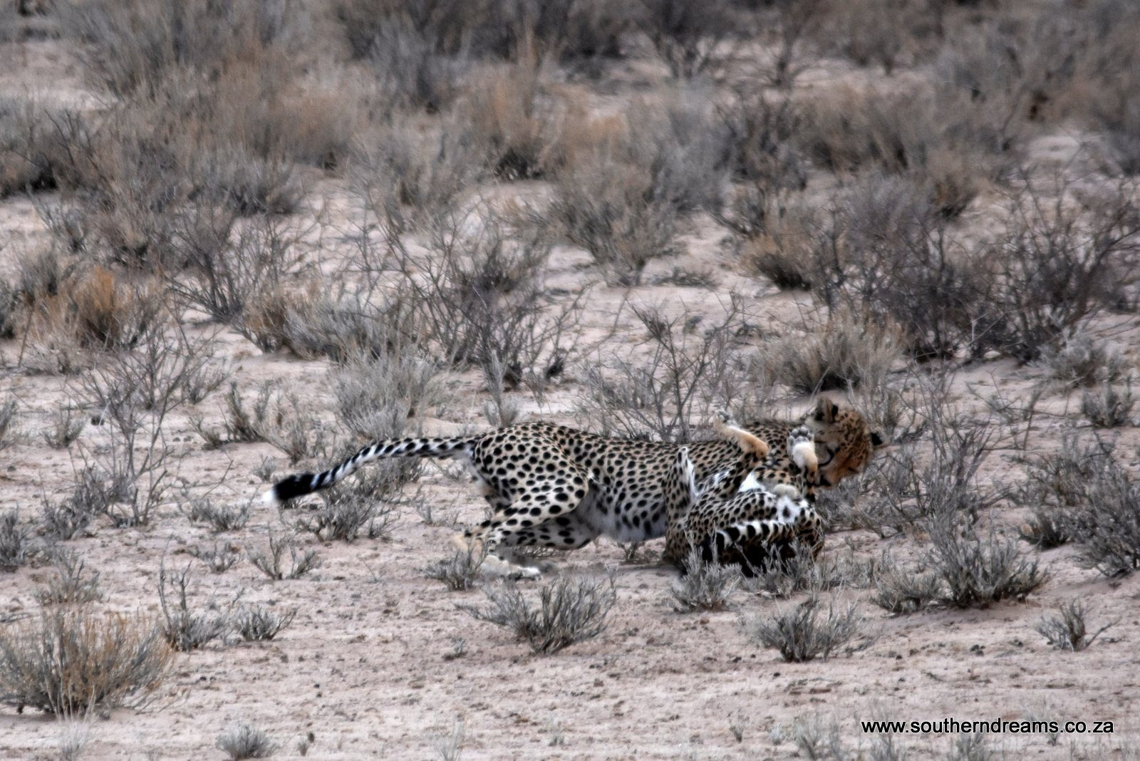 Cheetah Corinne and 2 boys at Kgalagadi