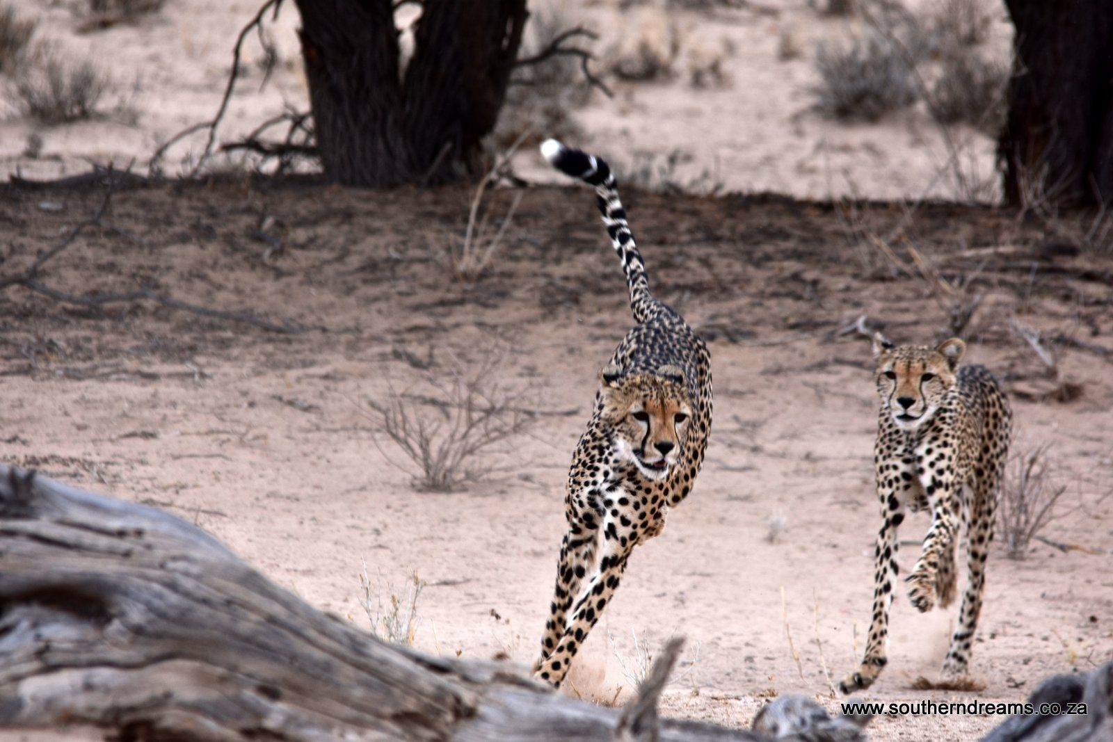Kgalagadi Cheetah - Corinne and her Scallywags