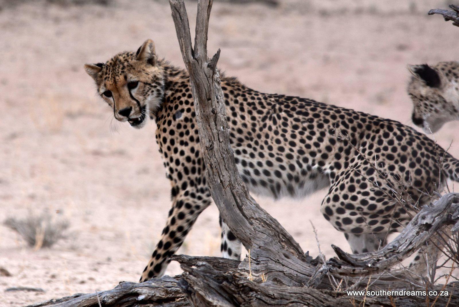 Cheetah Corinne