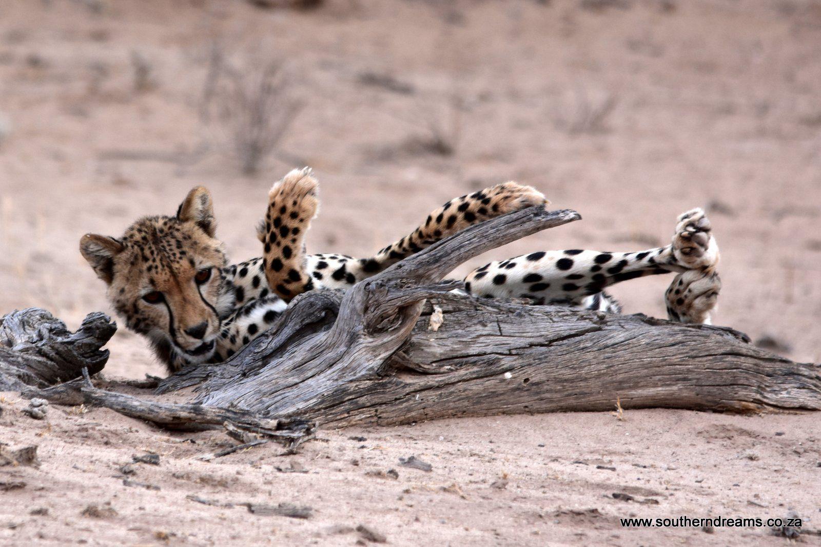 Kgalagadi Cheetah – Corinne and her Scallywags