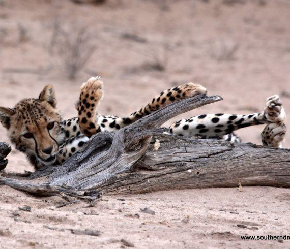 Cheetah Corinnes boy at Kgalagadi