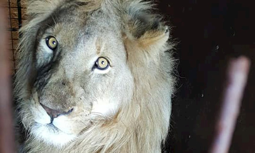 EXPORT QUOTA FOR LION BONES C Natucate Jabula